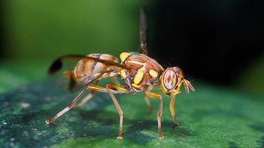 Bactrocera-cucurbitae